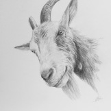 Curious goat - pencil on paper. FOR SALE