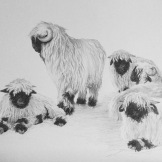 Valais Blacknose sheep - pencil on paper. SOLD