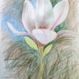 Magnolia blossom - pencil on paper.